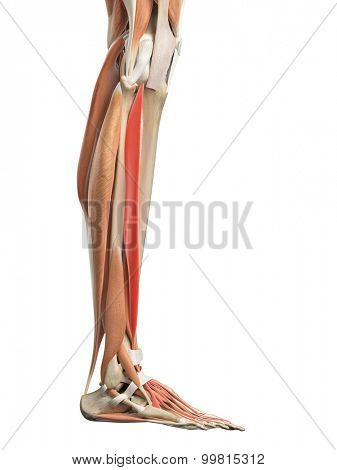 medically accurate illustration of the extensor digitorum longus