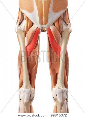 medically accurate illustration of the adductor brevis