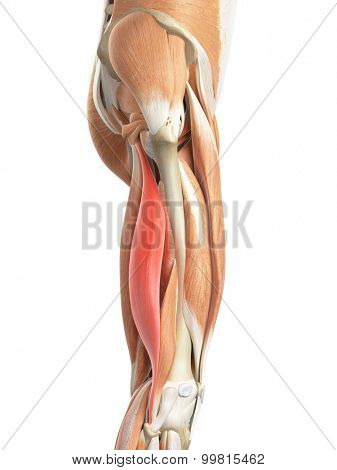 medically accurate illustration of the biceps femoris longus