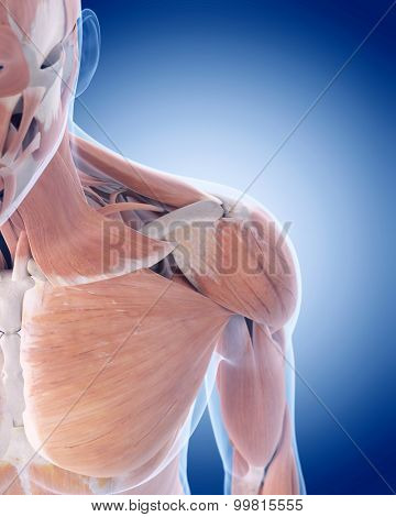 medically accurate illustration of the anterior shoulder muscles