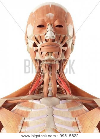 medically accurate illustration of the scalene anterior