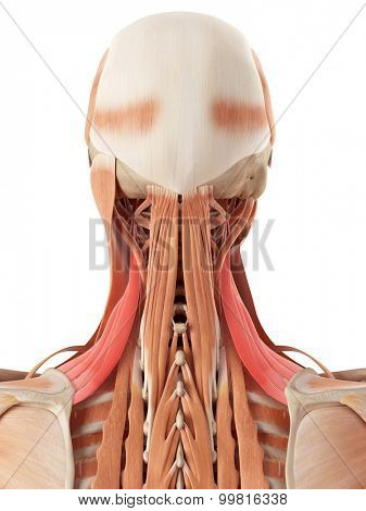 medically accurate illustration of the levator scapularis