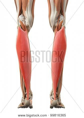 medically accurate illustration of the soleus