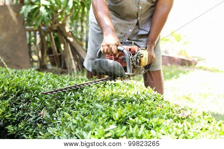 Gadener Cuts The Hedge By The Hedge Trimmer