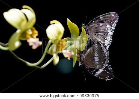 Two Butterflies Mating On The Flower