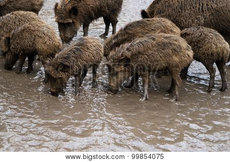 Wild Pigs On Liquid Dirty Ground