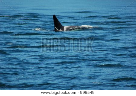 this killer whale is frolicing in the ocean looking for salmon to snack on. poster