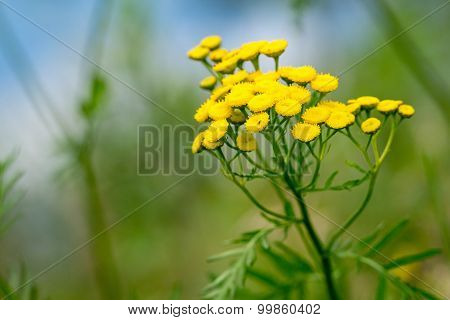 Big Wild Field Flower Of Yellow Color