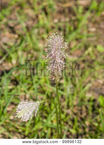 Plantago Lanceolata, Ribwort Plantain, English Plantain, Buckhorn Plantain, Narrowleaf Plantain flower macro, selective focus poster