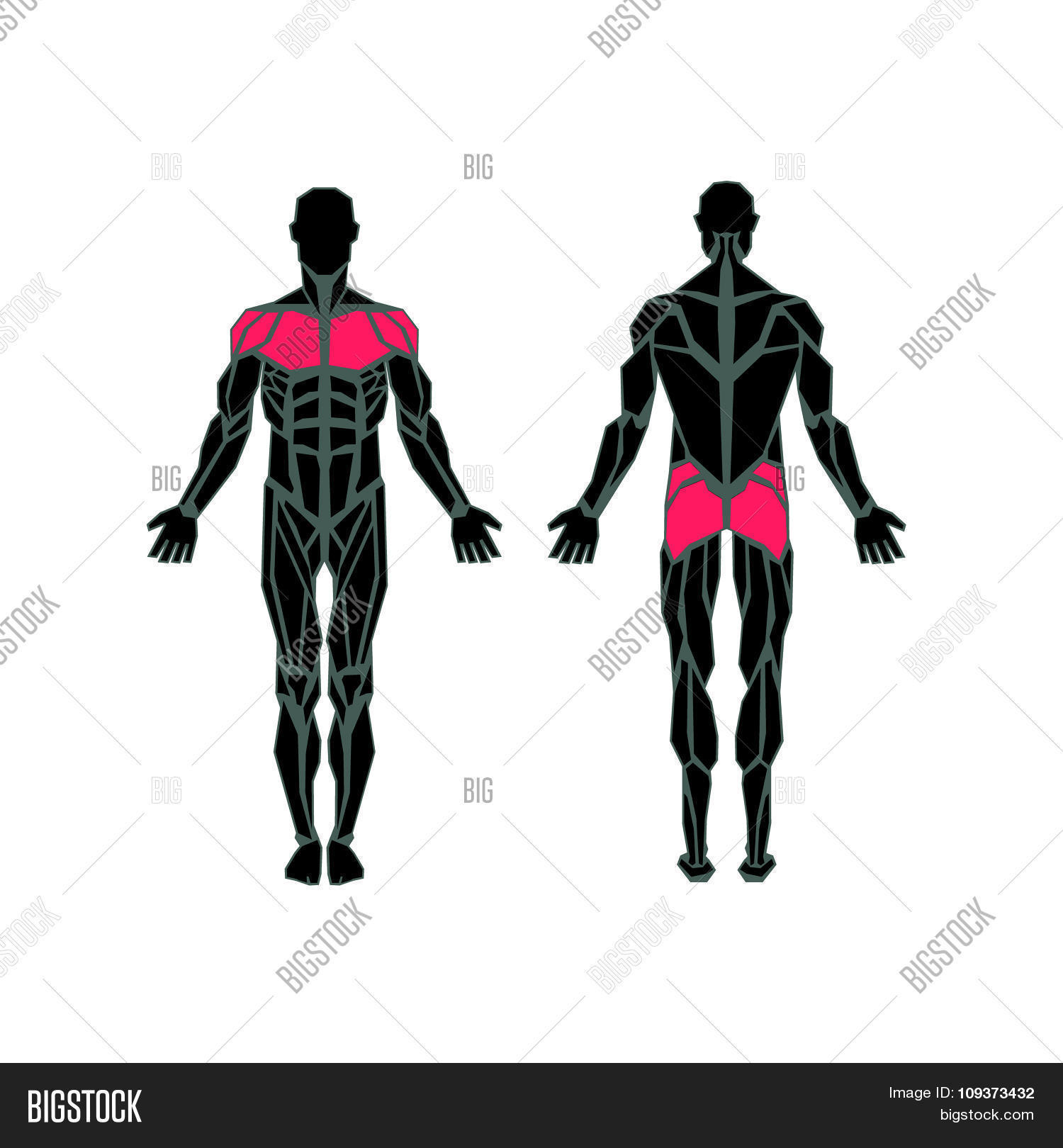 Polygonal anatomy vector photo free trial bigstock polygonal anatomy of male muscular system exercise and muscle guide human muscular vector art ccuart Images