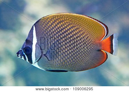 Redtail Butterflyfish (chaetodon Collare)