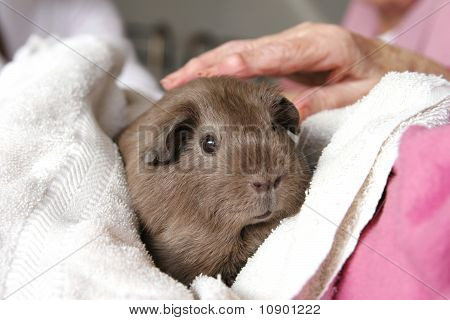Guinea pig in the rest home