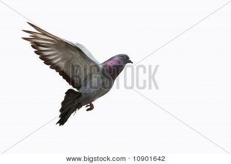 Pigeon in flight