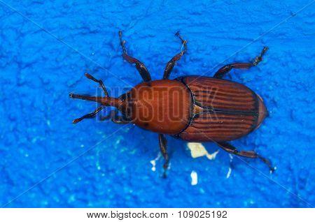 Red Palm Weevil Overview Over Blue - Rhynchophorus Ferrugineus