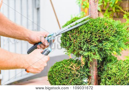 Hands, Hedge Trimmer And Tree