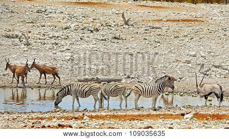 Zebras and Hartebeest at a waterhole in Etosha