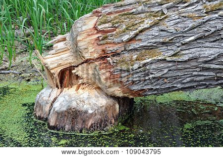 Fallen tree that beavers have gnawed