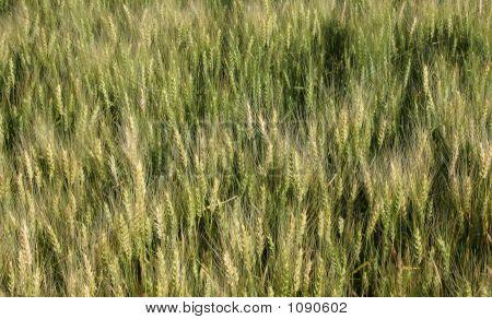 Argentine Bread Wheat