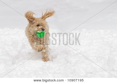 A cockapoo dog in the snow