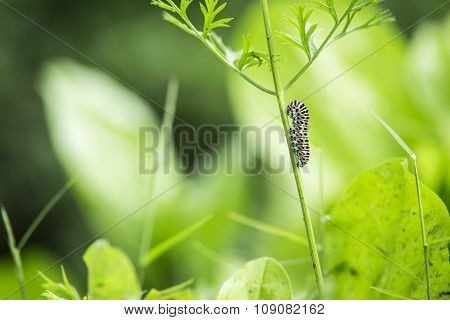 beautiful catterpillar attached on a blade of grass