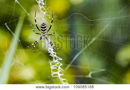 Black and yellow garden spider on web.