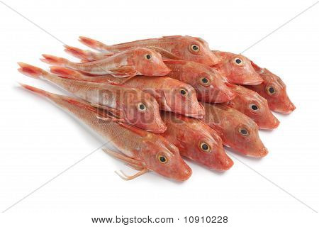 Pile of Red Tub gurnard fishes