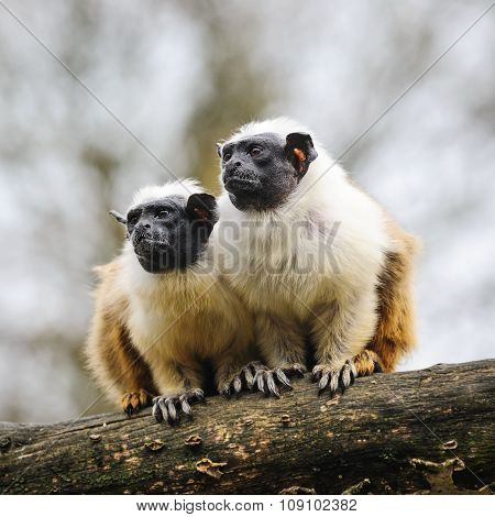 Two Adult  Pied Tamarins sitting on a tree and looking aside poster