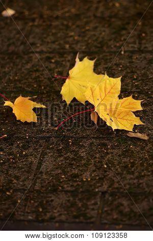 Maple Leaves On Flag-stone Pavement