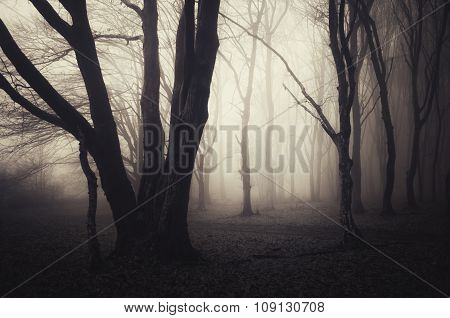 Old giant trees in mysterious Halloween forest