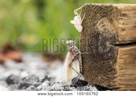Short Horned Grasshopper With Molted Skin