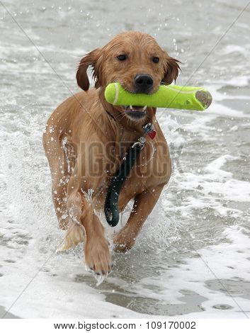 Golden retriever running in ocean