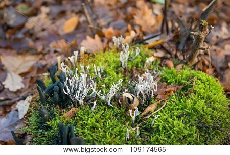 Candlestick Fungus Between The Green Moss In Autumn