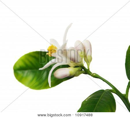 Lemon Flower On The White Background (citrus Limon)