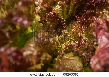 Macro of an organic lettuce interior - shallow DOF