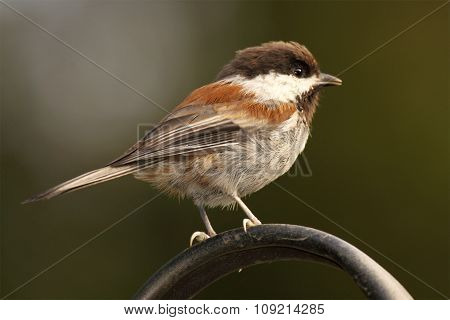 Chestnut-backed Chickadee Leaning Forward On Curving Perch In California