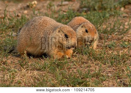 A pair of Black-tailed Prairie Dogs feeding together in Montana.