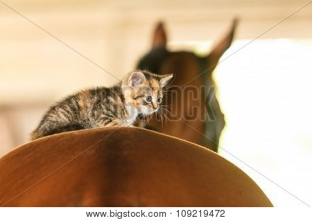 Little Kitten Kitty Cat Animal On Horse Horseback