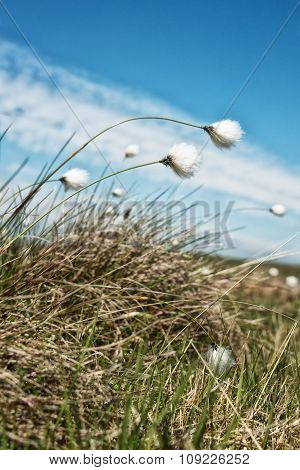 Cotton Grass blowing in the wind