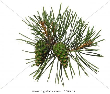 Pine Shoot With Two Cones