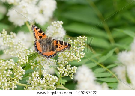 Butterfly On A White Flowers