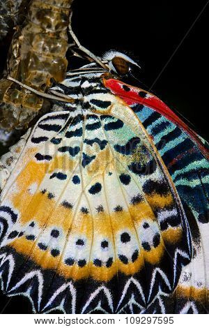 butterfly cocoons and newly hatched butterfly