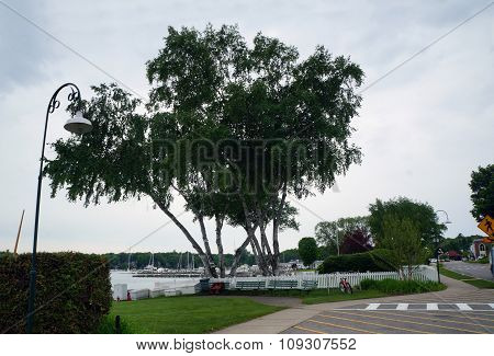 Birch Trees on the Waterfront
