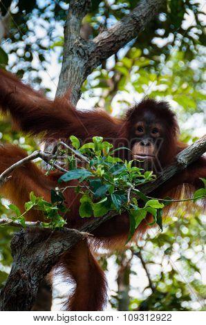 Orang Utan sitting on a tree in the jungle, Indonesia