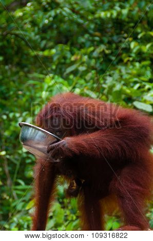 Orang Utang drinking from bowl in jungle of Borneo