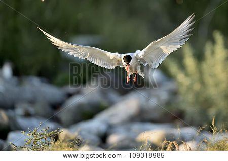 Flitting The Common Tern (sterna Hirundo)