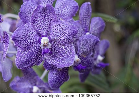 selective focus of violet streaked orchid flower poster