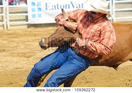 A Rodeo Cowboy Wrestling A Steer