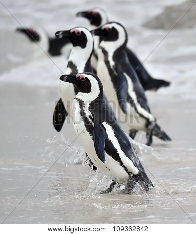 African penguin (spheniscus demersus), also known as the jackass penguin and black-footed penguin