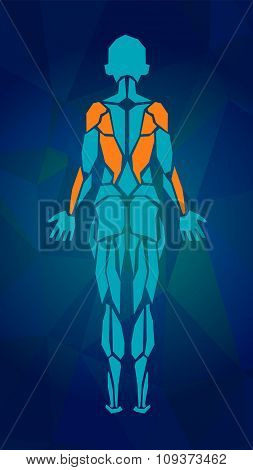 Polygonal Anatomy Of Female Muscular System. Women Muscle Vector Art, Back View.