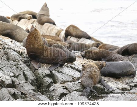 Sea Lions at the Sea Lions island in Beagle Channel, Argentina
